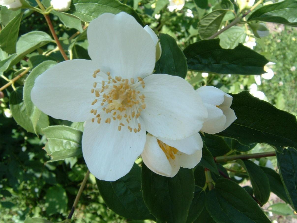 arbusto selvatico fiori bianchi profumati immagini